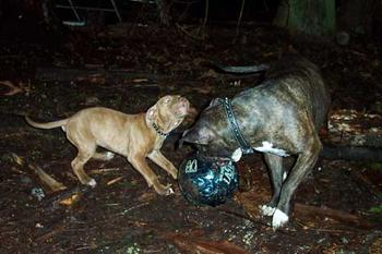 You try to get a good picture of a pit bull trying to pick up a bowling ball in the dark!