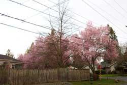 spring_blossoms_4.jpg
