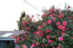 spring_blossoms_5.jpg